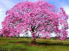 Ipê Rosa - Handroanthus avellanedae - Semente