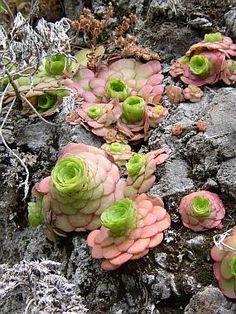 aeonium glandulosum - Fique a conhecer as nossas dicas de jardinagem em: www.asenhoradomonte.com