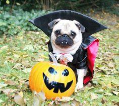 A Pug as a Vampire! How cute! (: