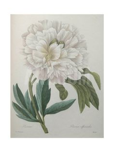 Official Peony Art Print by Pierre-Joseph Redoute at Art.com