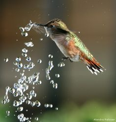 A female rufous hummingbird hovers above water droplets from a backyard fountain. Photo by Alandra Palisser.