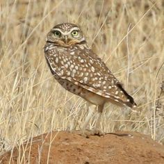 Flash Fiction Writing Prompt: Oliver Owl