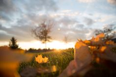 #autumn leaves #blur #blurry #branches #close up #clouds #dawn #dry leaves #dusk #field #golden hour #leaves #maple leaves #nature #sky #sun glare #sunset #trees