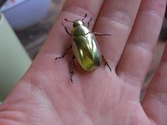 and the beautiful golden beetle - Panama