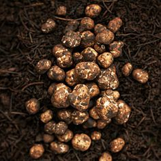 Oregon USA truffles. Chefs love 'em. Diamonds in the dirt. Learning to hunt 'em with dogs~Shepherds, poodles, chihuahuas. Prized culinary ingredient. Oregon is known as the premier center of research and expertise outside of Europe.