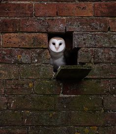 Barn Owl by Jerome Murray
