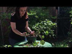 Cum taiem muscatele ca sa infloreasca mult #ingrijireaflorilor - YouTube Permaculture, Home And Garden, Balcony, Garden Ideas, Youtube, Gardening, Urban, Instagram, Interiors
