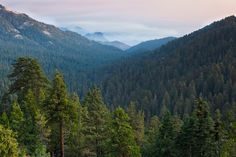 Conifers in Kings Canyon National Park by QT Luong
