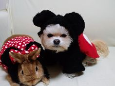 Dog and Rabbit in Mickey Mouse and Minnie Mouse Disney Costumes #cute #adorable #bestfriend