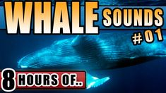 WHALE SOUNDS Underwater for Sleeping Meditation Children Relaxing Children Kids No Music Deep Ocean - http://www.soundstorelax.com/sounds-by-use/whale-sounds-underwater-for-sleeping-meditation-children-relaxing-children-kids-no-music-deep-ocean/