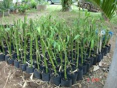 Various ways of propagating bamboo. bamboo against emissions: bamboo growing & propagation Bamboo Planter, Bamboo Garden, Bamboo House, Bamboo Seeds, Bamboo Species, Clumping Bamboo, Japanese Garden Plants, Bamboo Tree, Giant Bamboo