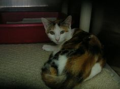 Meet Autumn (ID #112296). She is a 3 month old DSH kitten who came to the shelter as a stray on 9/11/12. Autumn is listed as a calico but she looks like a torbie to me. Her coloring is stunning. She is a very quiet kitten and a bit shy but she did enjoy me gently petting her.    Available for adoption or rescue:  Associated Humane Society - Newark, NJ  124 Evergreen Ave  Phone: (973) 824-7080  Email: associatedhumane@aol.com