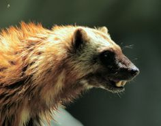 Wolverine. Teeth ! Photo by jpmatth.
