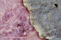 Coralline algae - pink cement that corals grow on