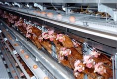 More than 83 million eggs are produced annually by hens kept in battery cages. There is debate as to whether such an intensive production system is humane.