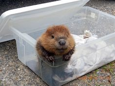Baby beaver in a box! Beaver Pictures, Animal Pictures, Cute Pictures, Cute Baby Animals, Animals And Pets, Funny Animals, Castor Animal, Baby Biber, Beaver Facts