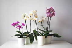 There is nothing more satisfying than watching an orchid send out its flowering spike — knowing that when you see the glorious blooms, it was you that helped it thrive to do so Orchid Roots, Orchid Leaves, Moth Orchid, Phalaenopsis Orchid, Orchid Plants, Orchid Care, Orchids Garden, Potted Plants, Orchid Repotting