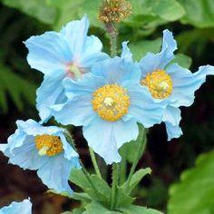 Meconopsis Plant - China Blue