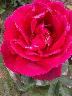 Rosa a punto de deshojarse
