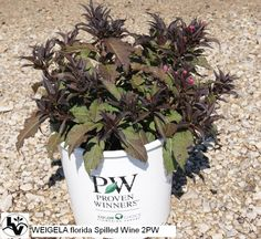 Spilled Wine Weigela is a newer introduction with dark foliage and red flowers.