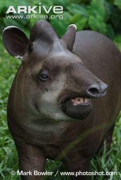 Close-up of a lowland tapir