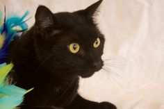 Indianapolis, IN * Meet Harlow, an adoptable Domestic Short Hair-black looking for a forever home. If you're looking for a new pet to adopt or want information on how to get involved with adoptable pets, Petfinder.com is a great resource.