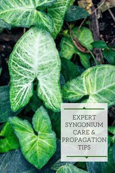 Syngonium Plant: Expert Care & Propagation Tips! Arrowhead Vine, Arrowhead Plant, Palm Plant Care, House Plant Care, Indoor Flowers, Indoor Plants, Tropical House Plants, Household Plants, White Plants