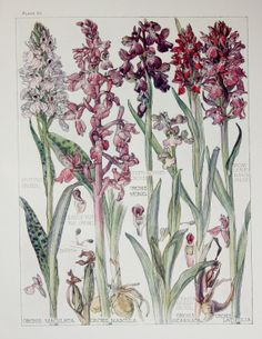 1910 Botanical Print by H. Isabel Adams Orchid by PaperPopinjay, $15.00