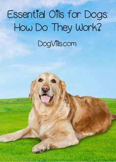 Chances are, you've heard of using essential oils for your own health, but what about your dog? Is it safe? Does this alternative medicine therapy work? Learn more about essential oils for dogs, including the how AND the why!