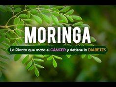 The Moringa Specialists Diabetes, Natural Medicine, Superfoods, Google, Moringa Oleifera, Seeds, World, Health And Wellness