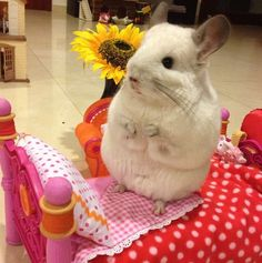Besides being unbelievably adorable, she also has a lot of hobbies.   This Is The Most Important Chinchilla On Instagram Right Now
