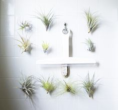 Low Maintenance Plants in the Shower? -- These air plants on suction cups will be happy to hang out anywhere away from direct sunlight!