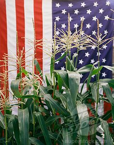 Corn and American Flag American Spirit, American Pride, American Flag, Religion And Politics, Sea To Shining Sea, 4th Of July Celebration, Home Of The Brave, And July, Land Of The Free