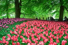 keukenhof  by Kitty Bern -  Click on the image to enlarge.