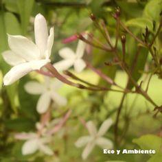 Plantas trepadoras, cubre muros, pergolas... Jazmin_Jasminum officinale