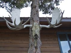 Right outside the Takusko House was this moose skull and antlers nailed up to a tree. It looks like the skull was found or was just left to nature as it looks like the skin has dessicated and stuck to the skull. Moose Skull, Taxidermy, Antlers, Tattoo Inspiration, Horns, Beautiful Homes, Piercings, Yard, Outdoors