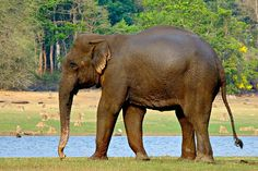 """Indian Elephant (Elephas maximus indicus) - photo by Jayanand Govindaraj, via Wikipedia;  This is one of 3 recognized subspecies of  Asian elephant. It is native to mainland Asia and is endangered. """"Indian elephants reach a shoulder height of between 6.6 and 11.5 feet, weigh between 4,400 and 11,000 pounds, and have 19 pairs of ribs."""" They have broader skulls and larger trunks than African elephants. Females usually have short or no tusks. - photo at Nagarhole National Park, Karnataka, India"""
