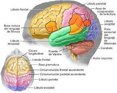 An expressive aphasia migraine affects the Brocas frontal lobe of the brain and cause an inability to say what the person wants to say. He might know the words in his head, know what he wants to say, yet be unable to speak them. Lesión Cerebral, Cerebral Cortex, Brain Lobes, Brain Tumor, Brain Anatomy, Anatomy And Physiology, Lóbulo Frontal, Frontal Lobe Damage, Migraine Home Remedies