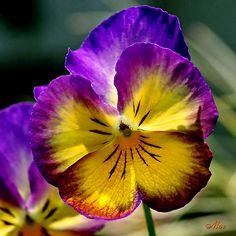 Pansies..love these because they come in so many different colors!
