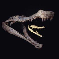 Sarcosuchus Fossil Skull in comparison with modern crocodile