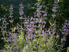 #Grün #Garten #Natur #Salbei #violett