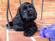 Black Cocker Spaniel puppy.
