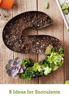 Succulents are hardy little plants that make a big impact on your décor. Check… Succulents are hardy little plants that make a big impact on your décor. Check out these 5 ideas for using succulents around the house, including a few easy DIY projects. Succulent Gardening, Succulent Plants, Cacti And Succulents, Planting Succulents, Container Gardening, Gardening Tips, Planting Flowers, Succulent Ideas, Cactus Plants