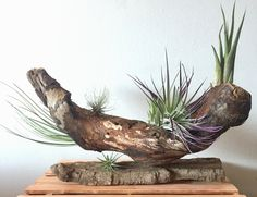 Air plants in driftwood.