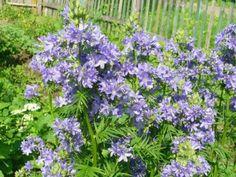 выращивание синюхи голубой