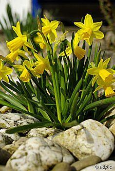 Daffodils between the rocks