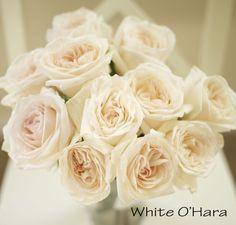 White O'Hara Garden Rose, a blush pink cream large rose