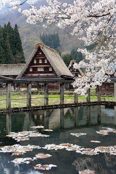 Sakura in WF#1 - Gokayama, Toyama, Japan