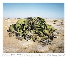 "A 2,000 year-old Welwitschia in the Namib-Naukluft Desert, Namibia, via Robert Krulwich, npr. Photo by Rachel Sussman: Welwitschia, when you finally get to see one, sits apart. It's very alone. All its relatives, its cousins, nieces, nephews have died away. It is the last remaining plant in its genus, the last in its family, the last in its order. ""No other organism on earth can lay such a claim to being 'one of its kind,'... #Plants #Welwitschia #Namibia"