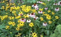Echinacea with Black-eyed Susans